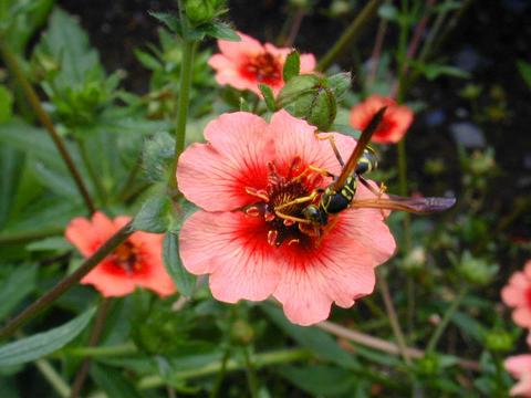 http://www.seedsman.jp/gardenblog/jpg-pink/potentilla_meltonfire2-thumb.jpg