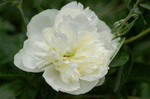 paeonia_lactiflora_DuchessedeNemours090519.jpg