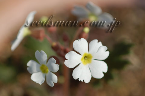 primula_sinensis060321.jpg
