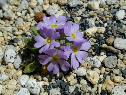Primula modesta var. fauriae Nemuro Image