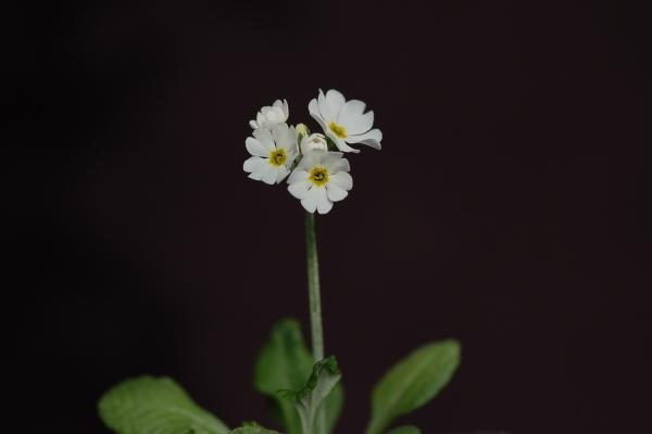Primula modesta var. fauriae f. leucantha Image