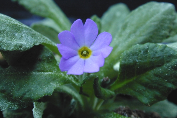 Primula modesta var. matsumurae Image