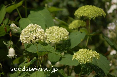 hydrangea_arborescens_Annabelle080610.jpg