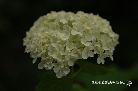 hydrangea_arborescens_Annabelle080611.jpg
