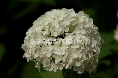 hydrangea_arborescens_Annabelle080617.jpg
