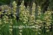 sisyrinchium_striatum060603.jpg