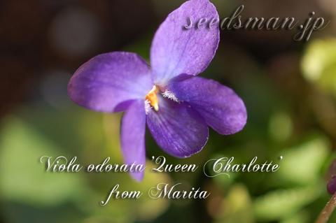 Viola_odorata_QueenCharlott-thumb.jpg