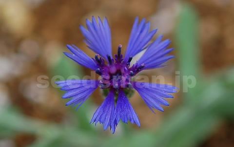 centaurea_cyanoides_BlueCarpet060526.jpg
