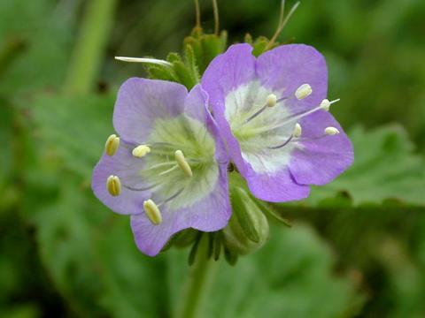 phacelia_lavenderlass2-thumb.jpg