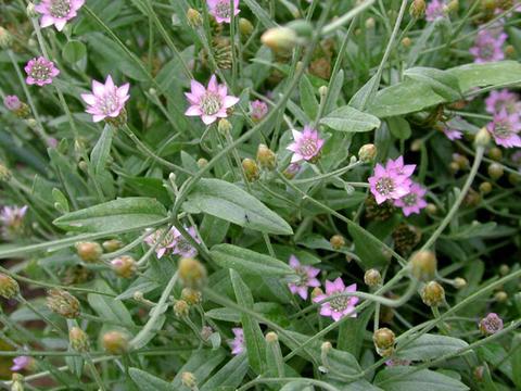 xeranthemum_cylindraceum1-thumb.jpg