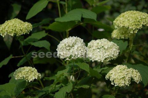 hydrangea_arborescens_Annabelle080614.jpg