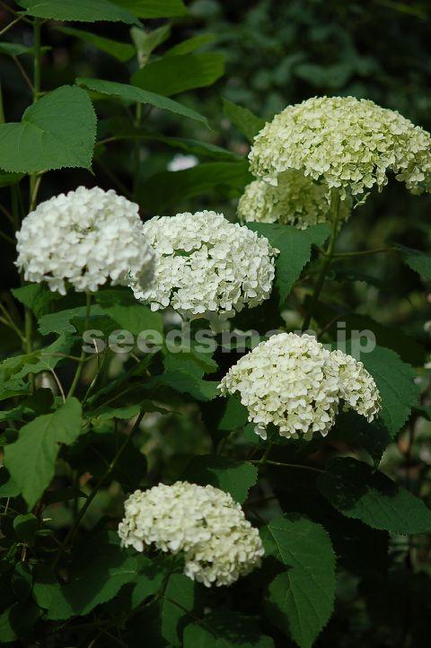 hydrangea_arborescens_Annabelle080615.jpg