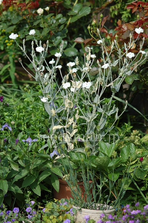 lychnis_coronaria_HutchisonsCream070529.jpg