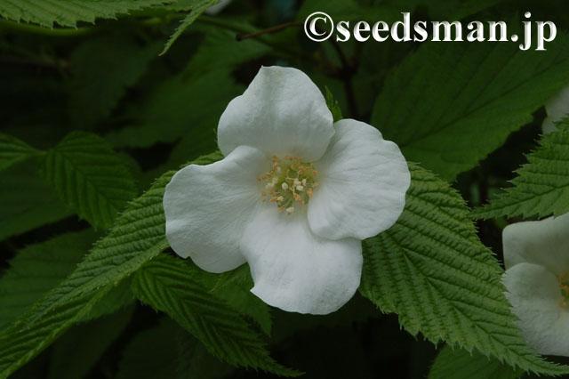 rhodotypos_scandens_20120426_1