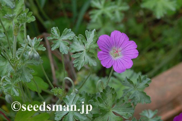 geranium_harveyi_20120520_1