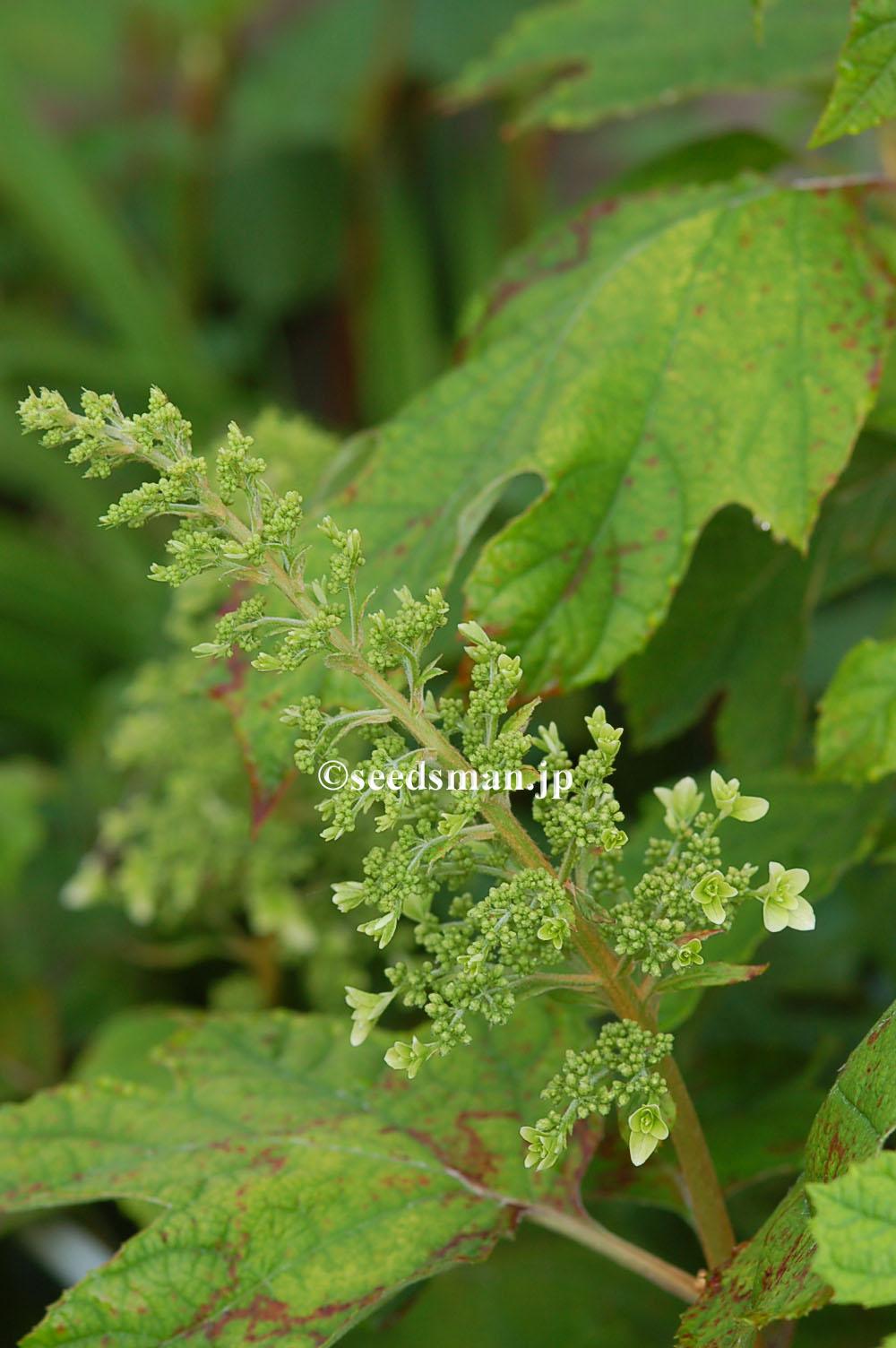 hydrangea_quercifolia_20120521
