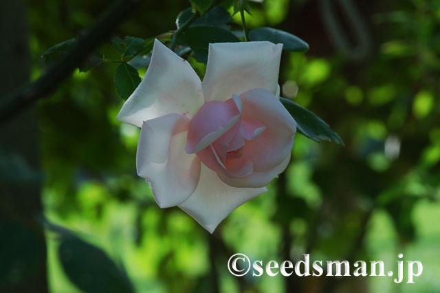 rosa_NewDawn_20120526
