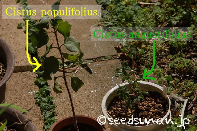 cistus_populifolius-angustifolius_20140323