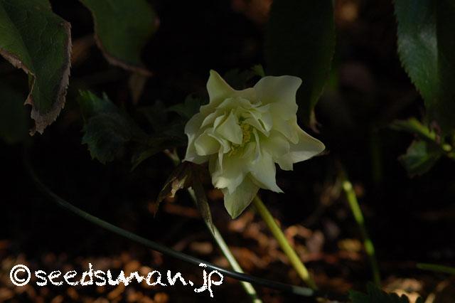 helleborus_orientalis_WashfieldDoubles_20140306