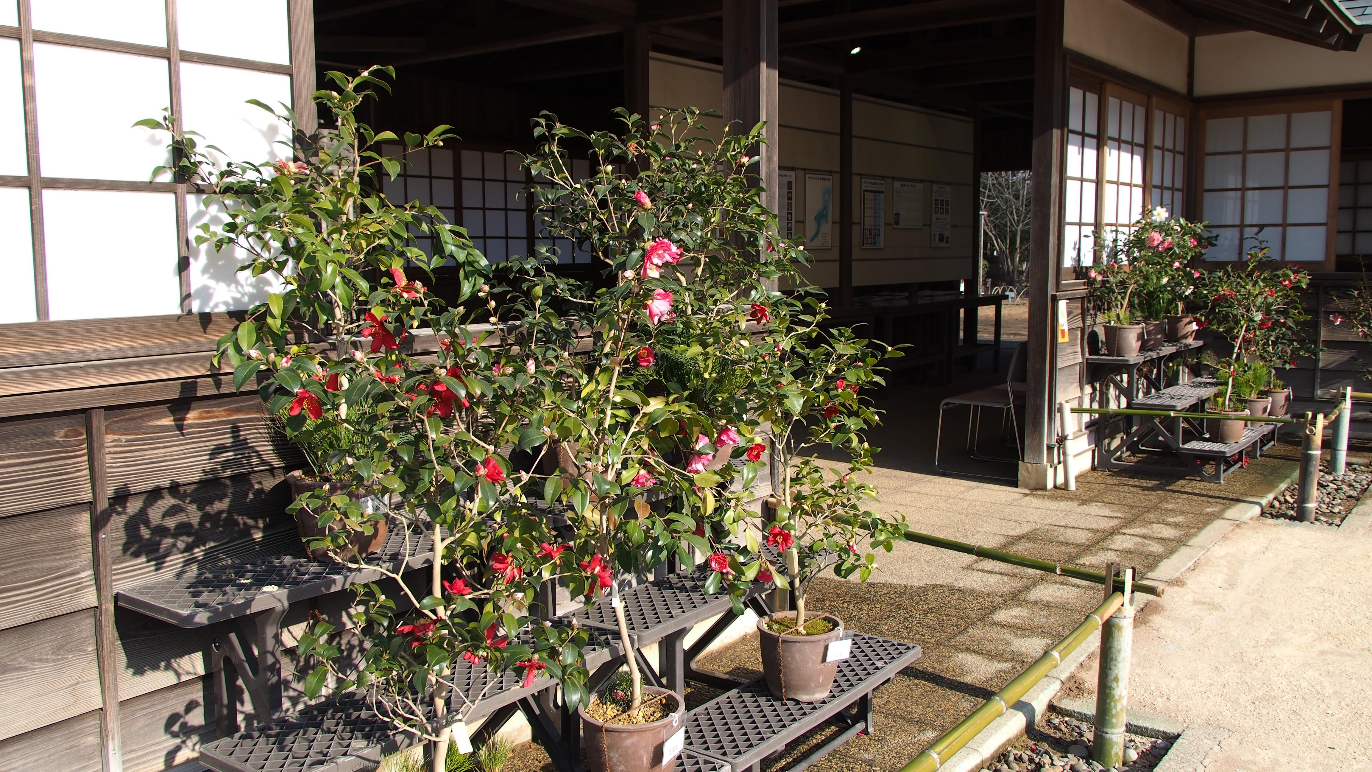 くらしの植物苑 「冬の華・サザンカ」展