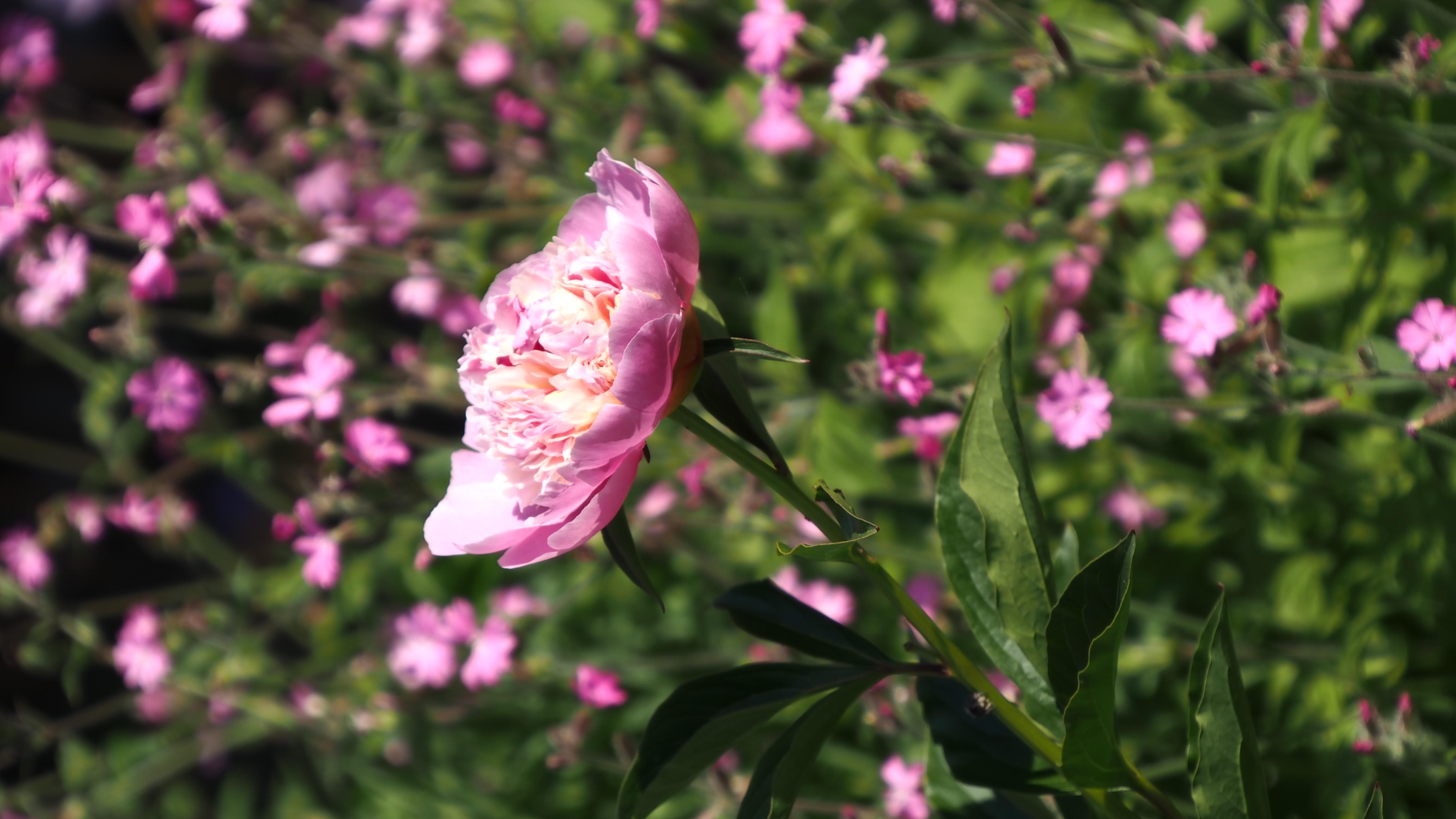 Paeonia lactiflora 'Sorbet' パエオニア ラクチフローラ 'ソルベット' (シャクヤク)