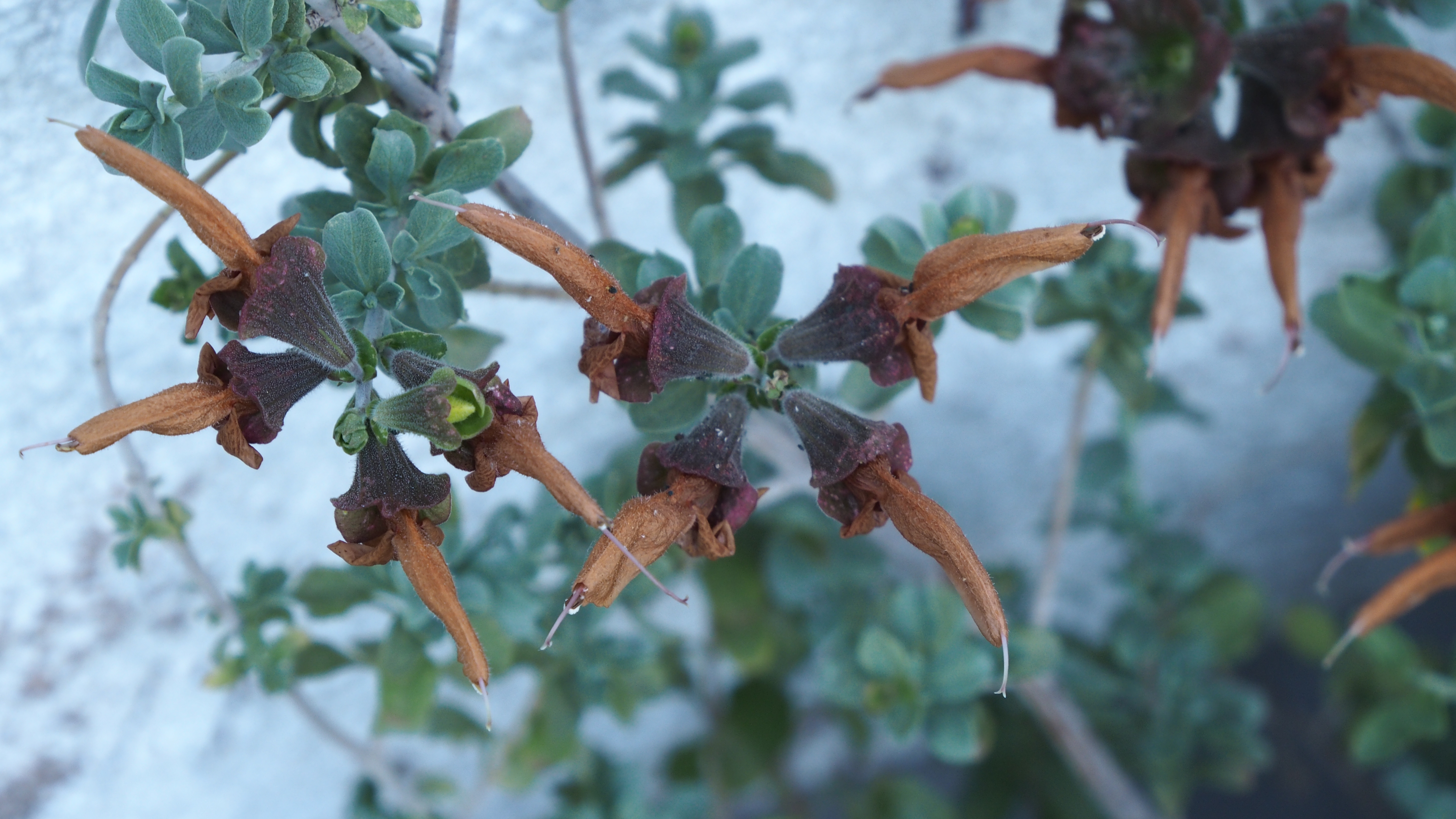 Salvia africana-lutea サルビア アフリカナ-ルテア