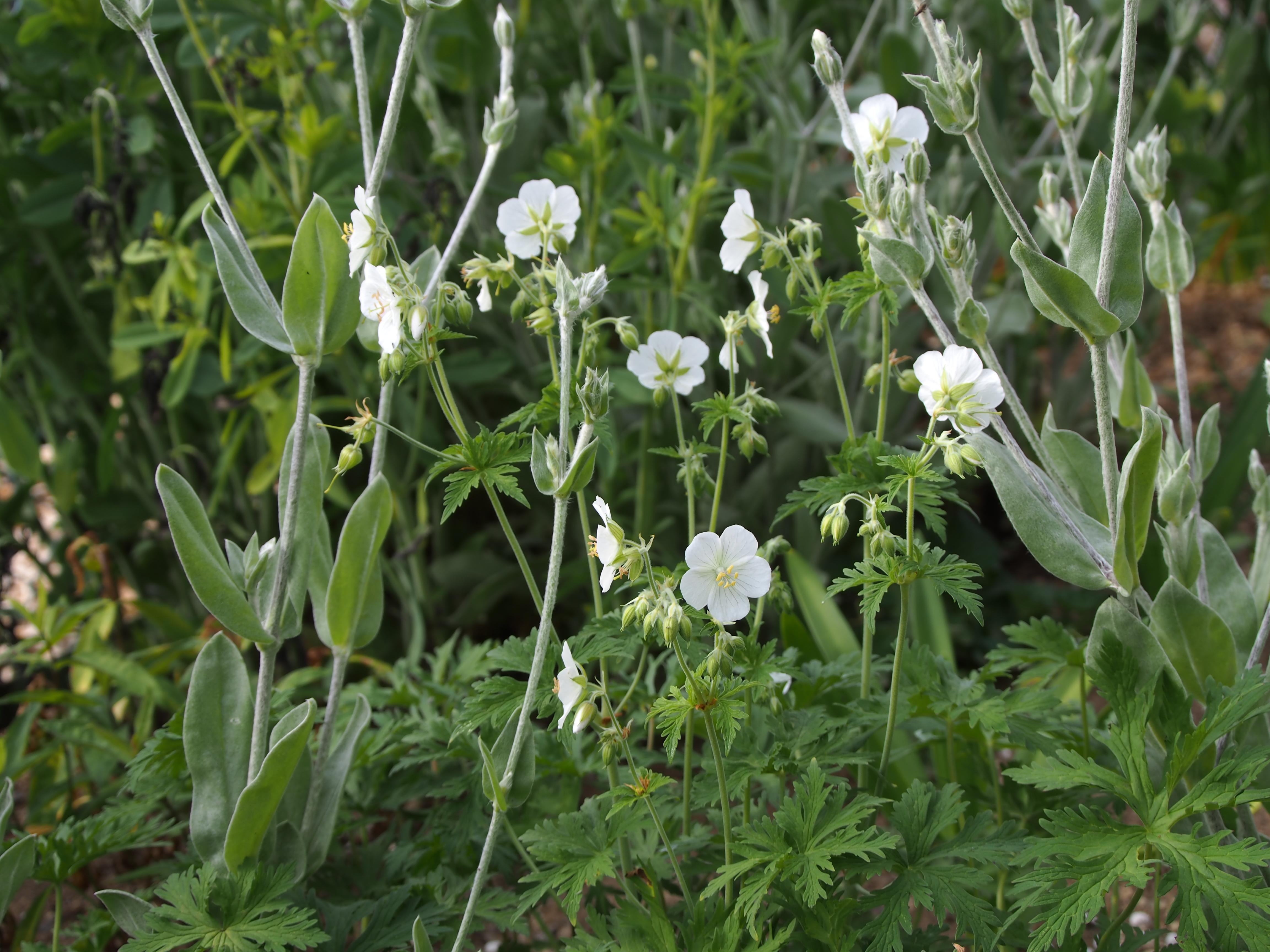 Geranium pratense f. albiflora