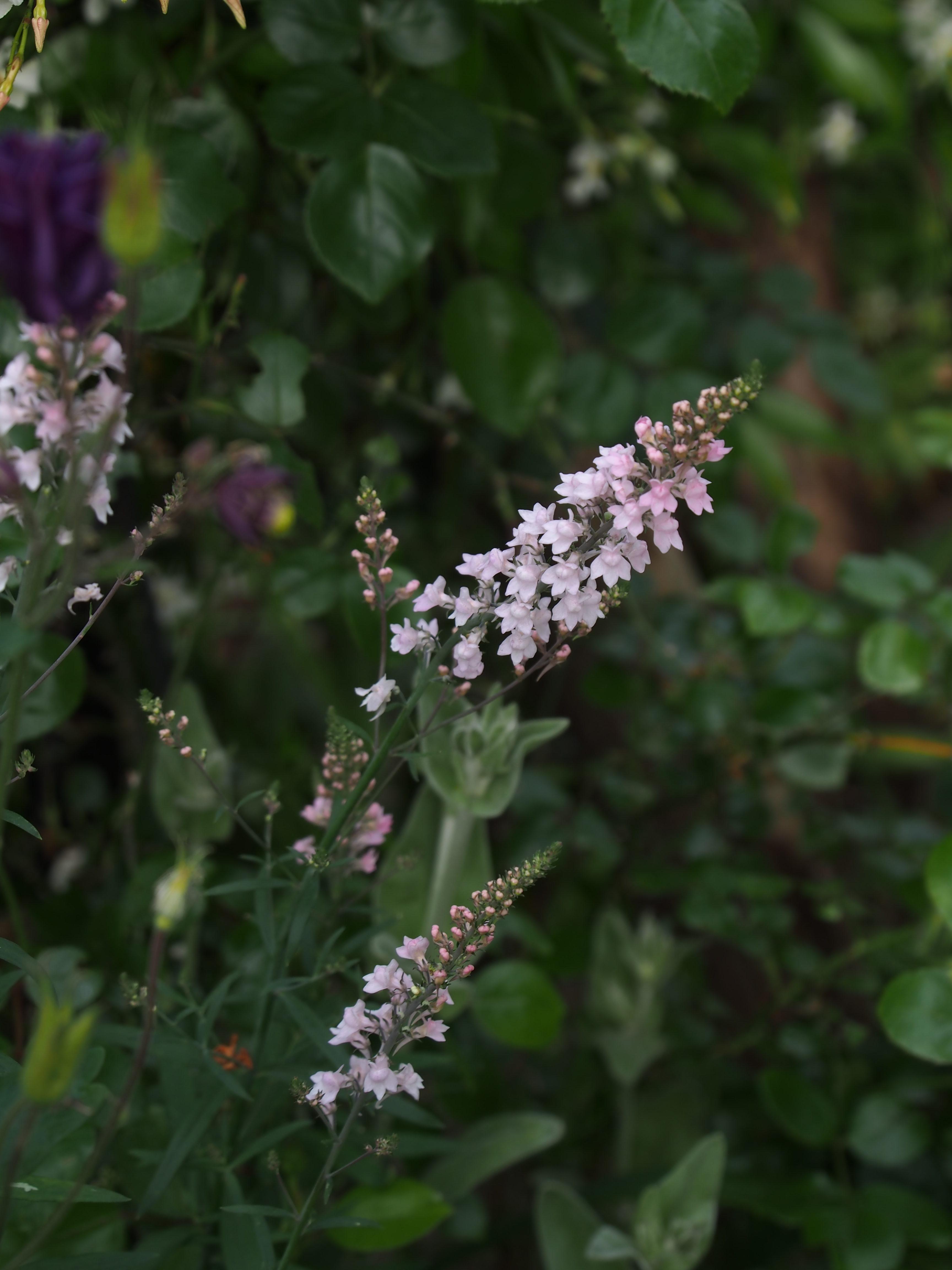 Linaria purpurea 'Canon J. Went' リナリア プルプレア 'キャノンジェイウェント' (宿根リナリア)