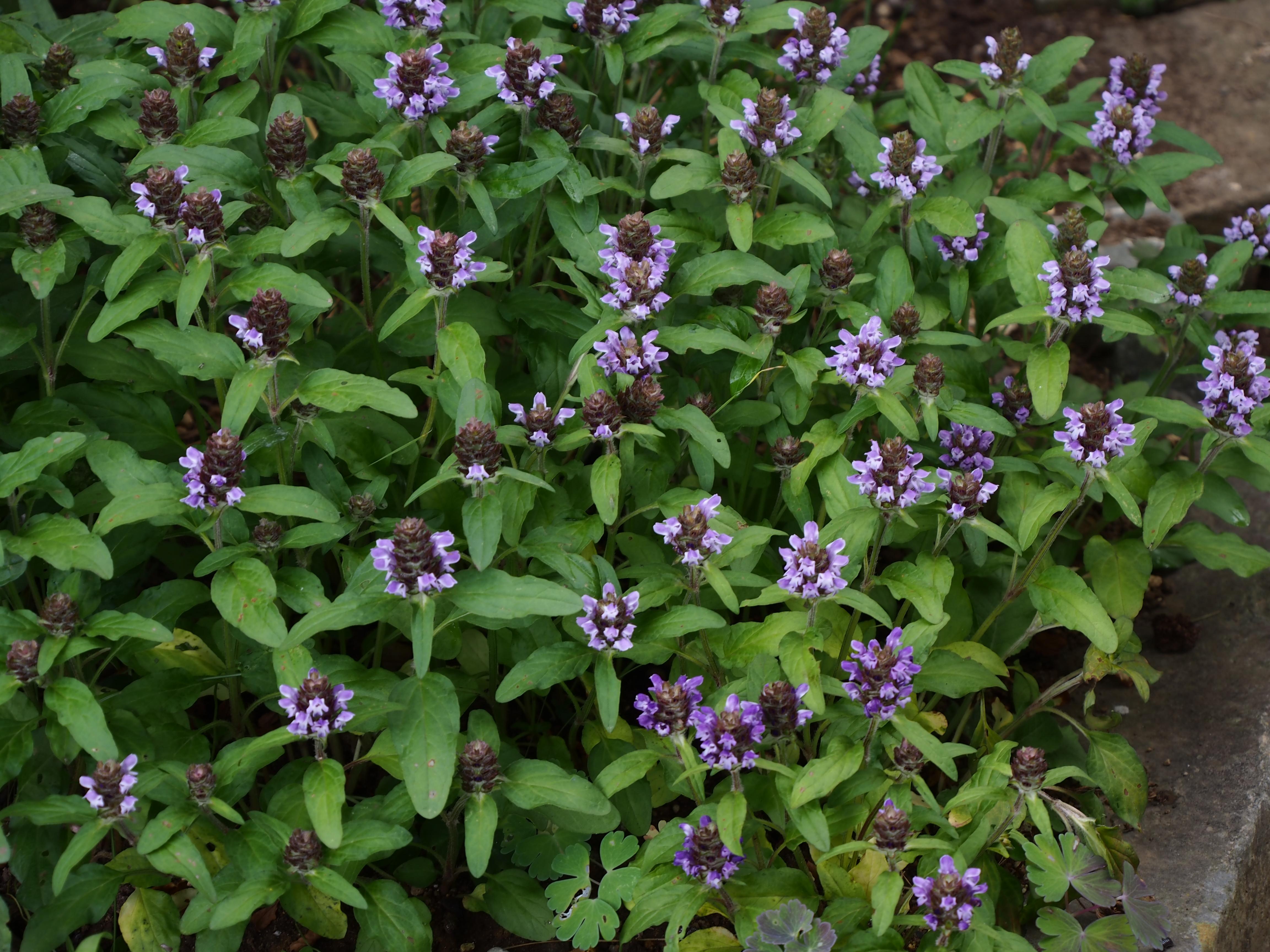 Prunella vulgaris プルネラ ウルガリス (ウツボグサ)