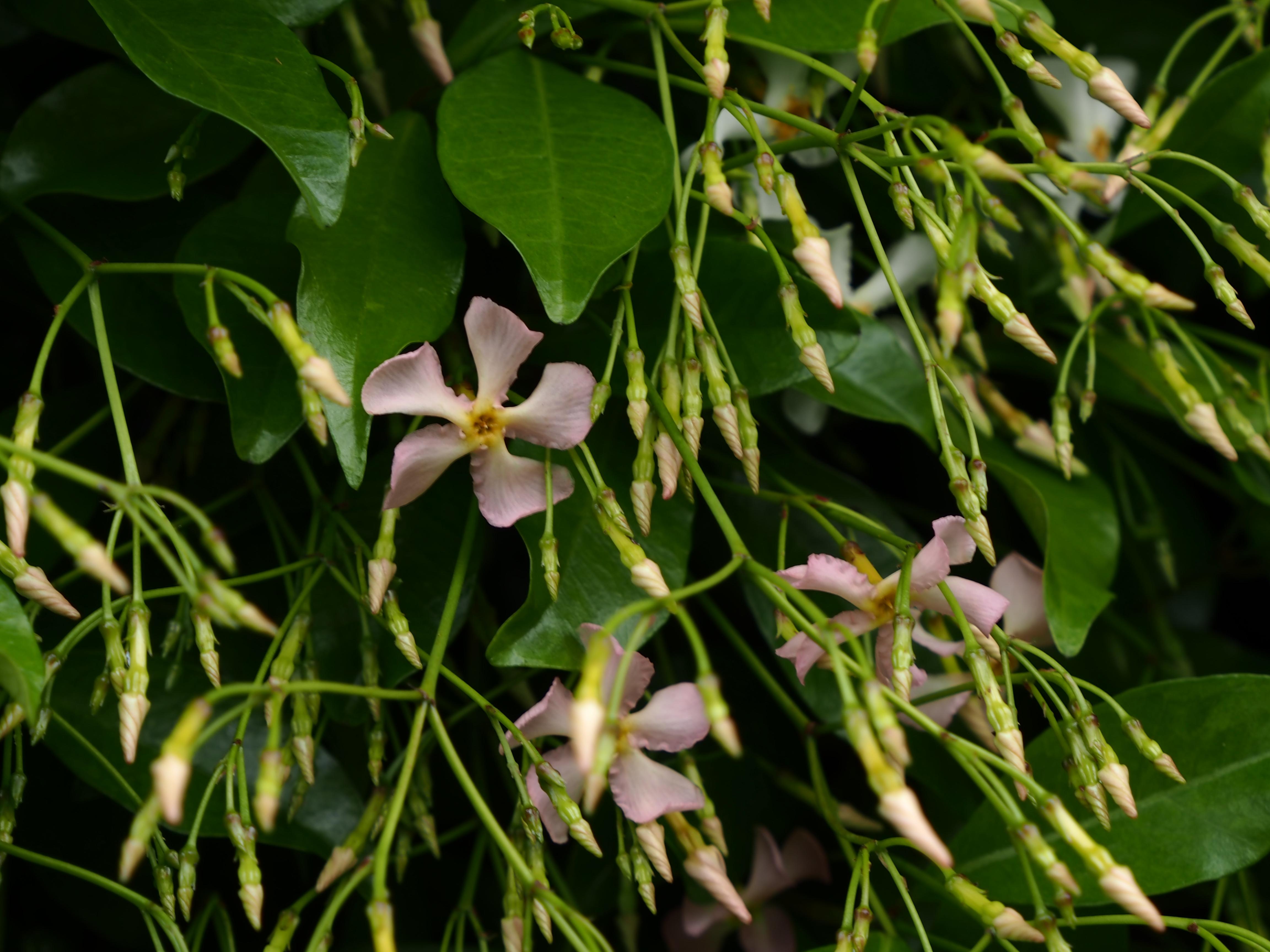 Trachelospermum asiaticum<br />トラケロスペルマム アジアティクム ピンク(テイカカズラ) 桃花