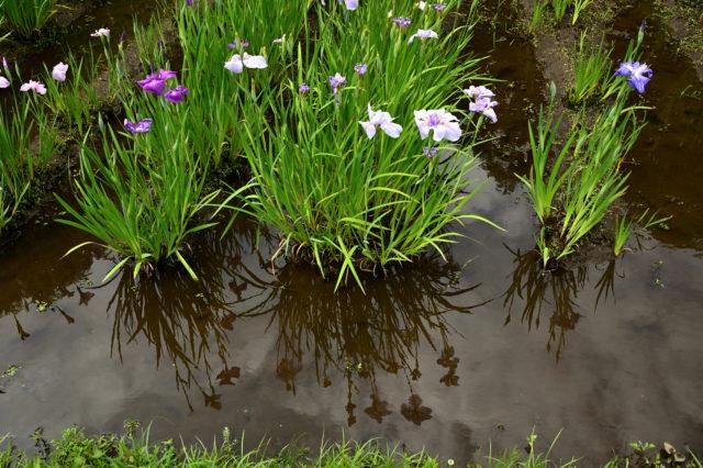 菖蒲田の水面が鏡面になる