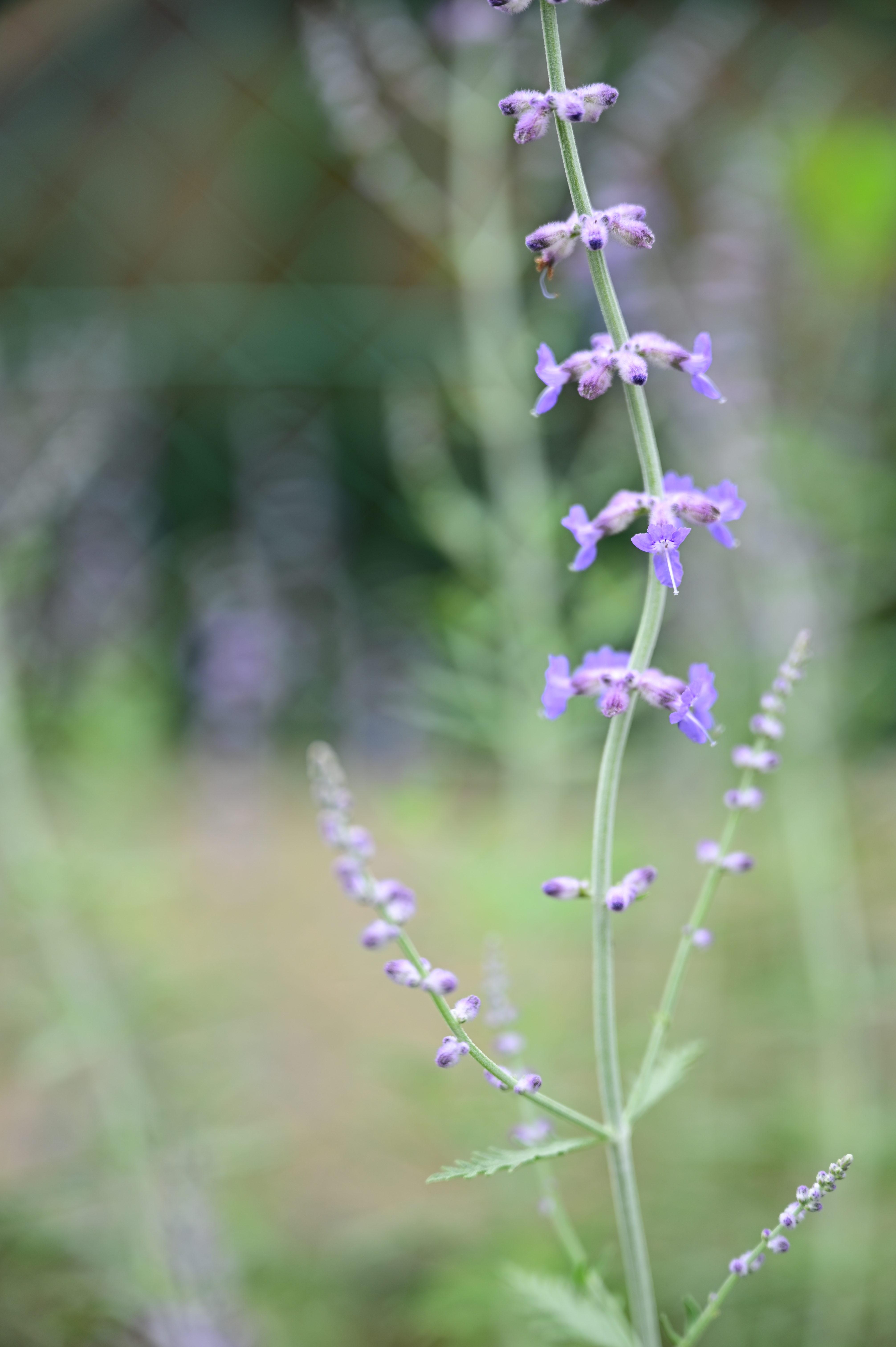 Perovskia atriplicifolia (Russian sage) ペロフスキア  アトリプリキフォリア (ロシアンセージ)