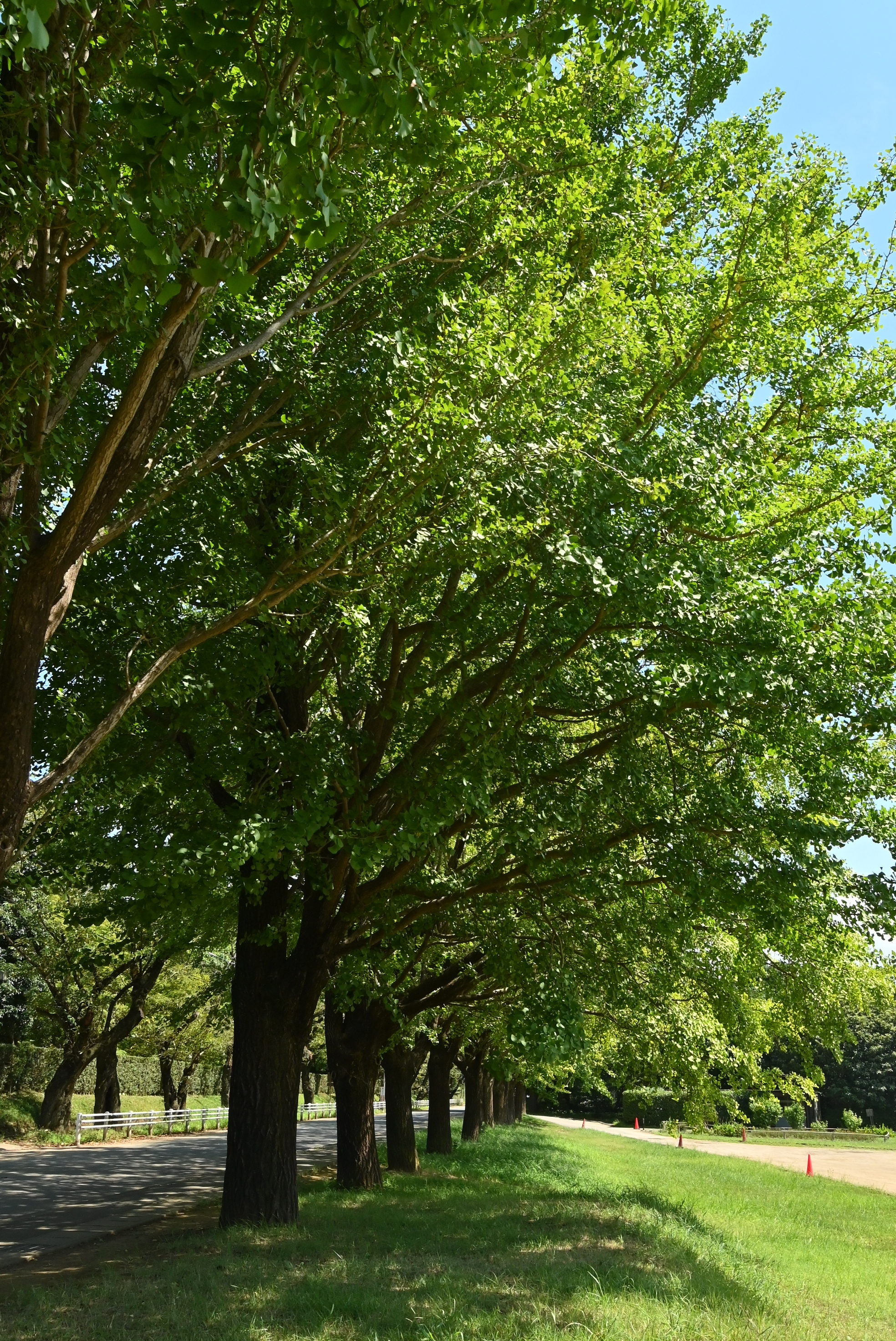 イチョウ並木 2