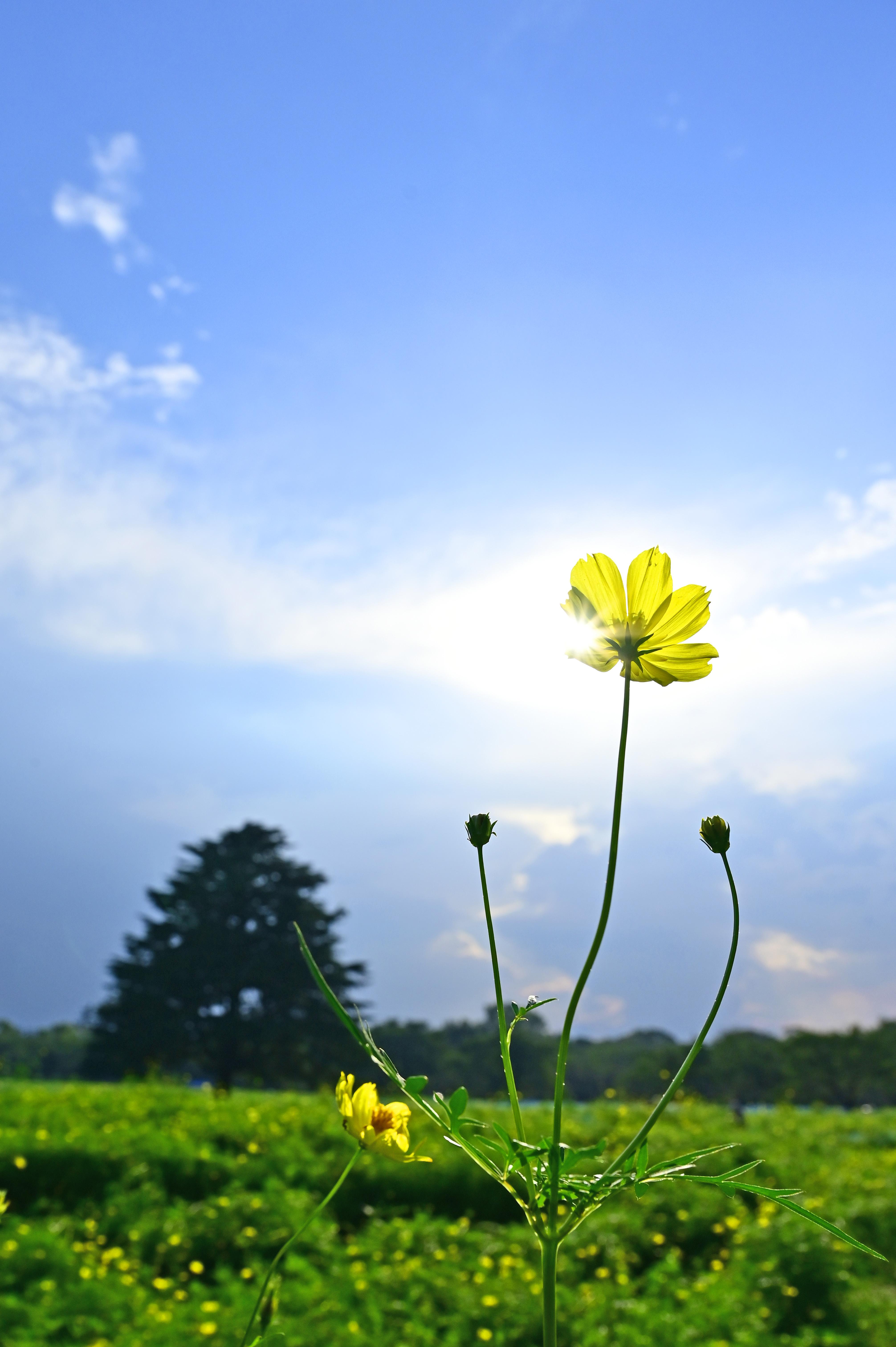 立川昭和記念公園にて コスモスの花壇で光芒が少し