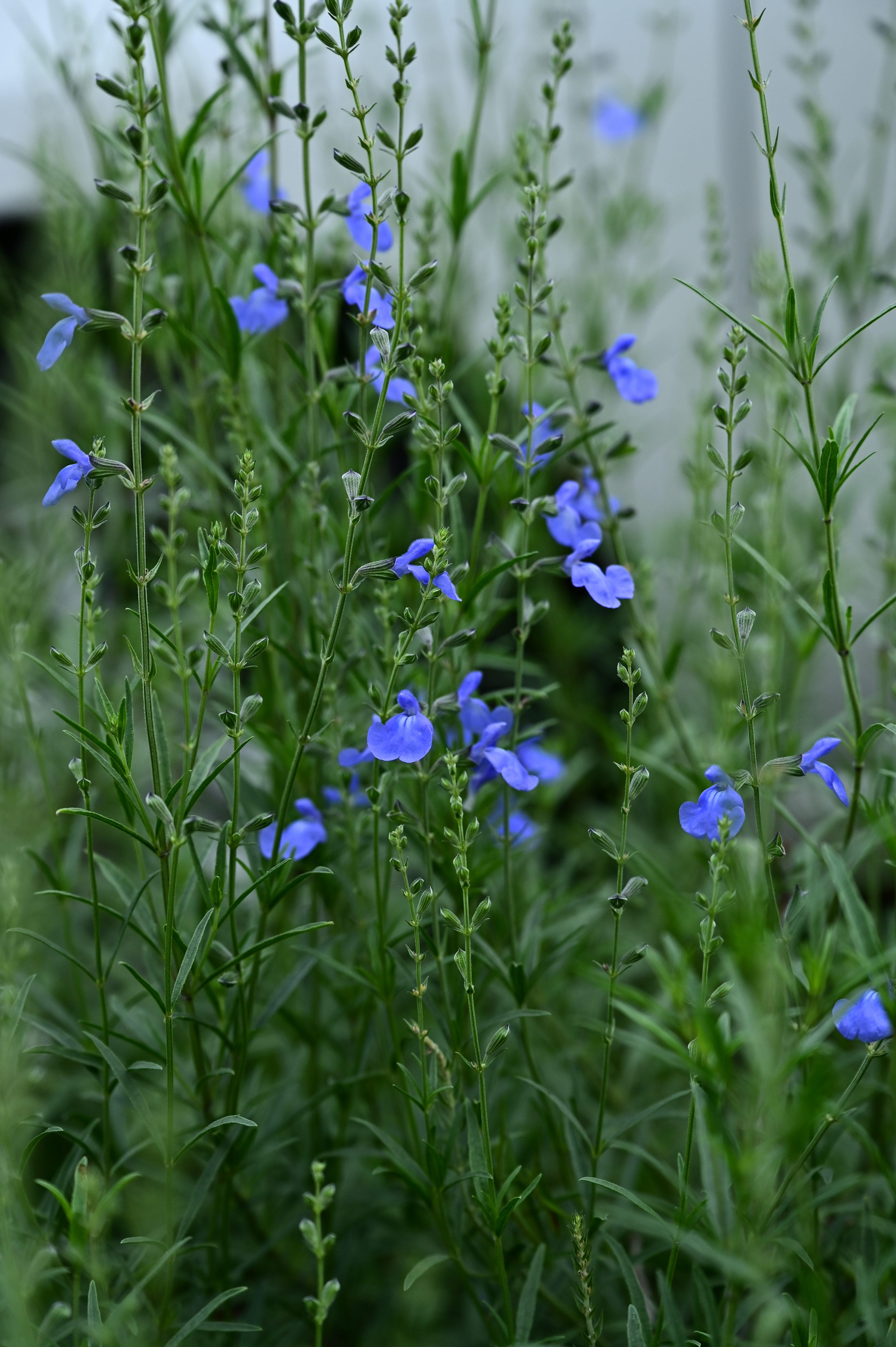 Salvia azurea サルビア アズレア
