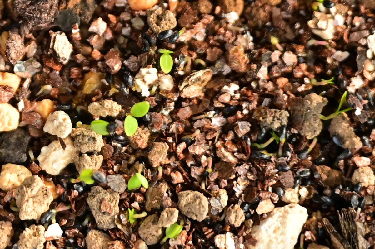 Aquilegia longissima アクイレギア ロンギッシマ (ツメナガオダマキ)
