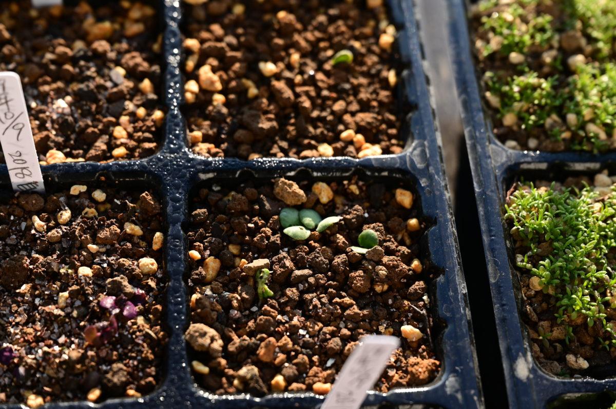 Salvia aurea sny. Salvia africana–lutea サルビア アウレア 異名 サルビア アフリカナ-ルテア