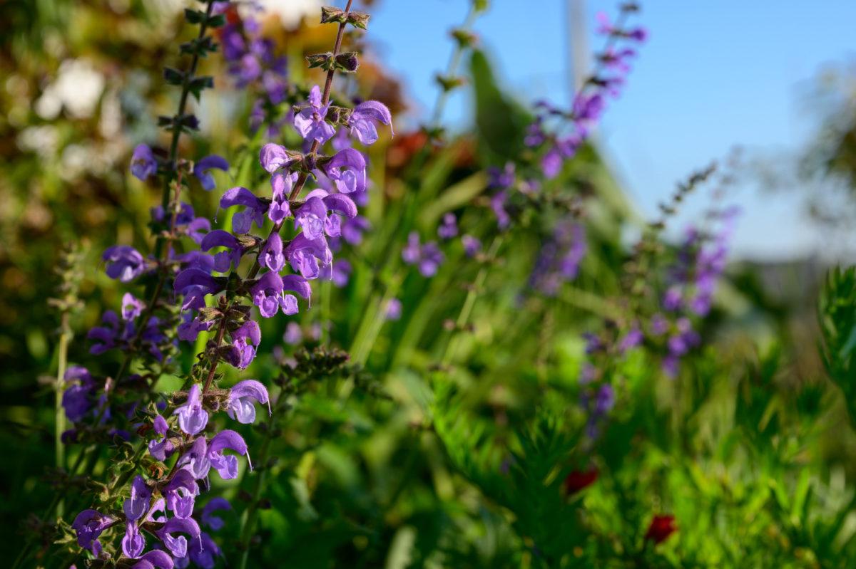 Salvia pratensis hybrid サルビア プラテンシス系雑種