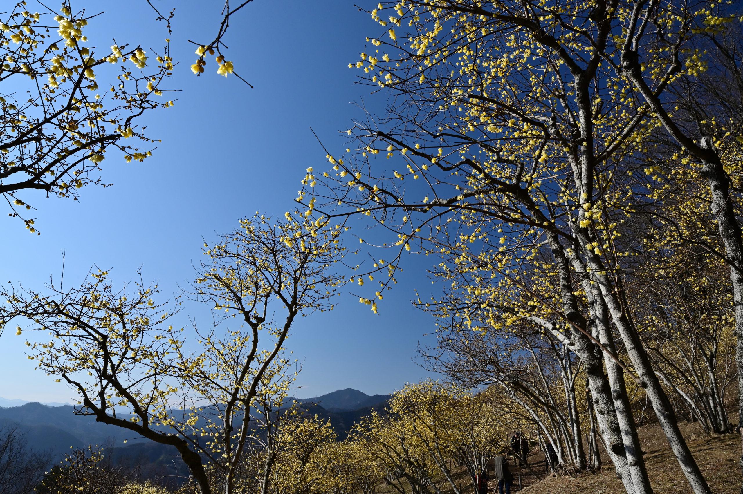 宝登山 ロウバイ祭り 12