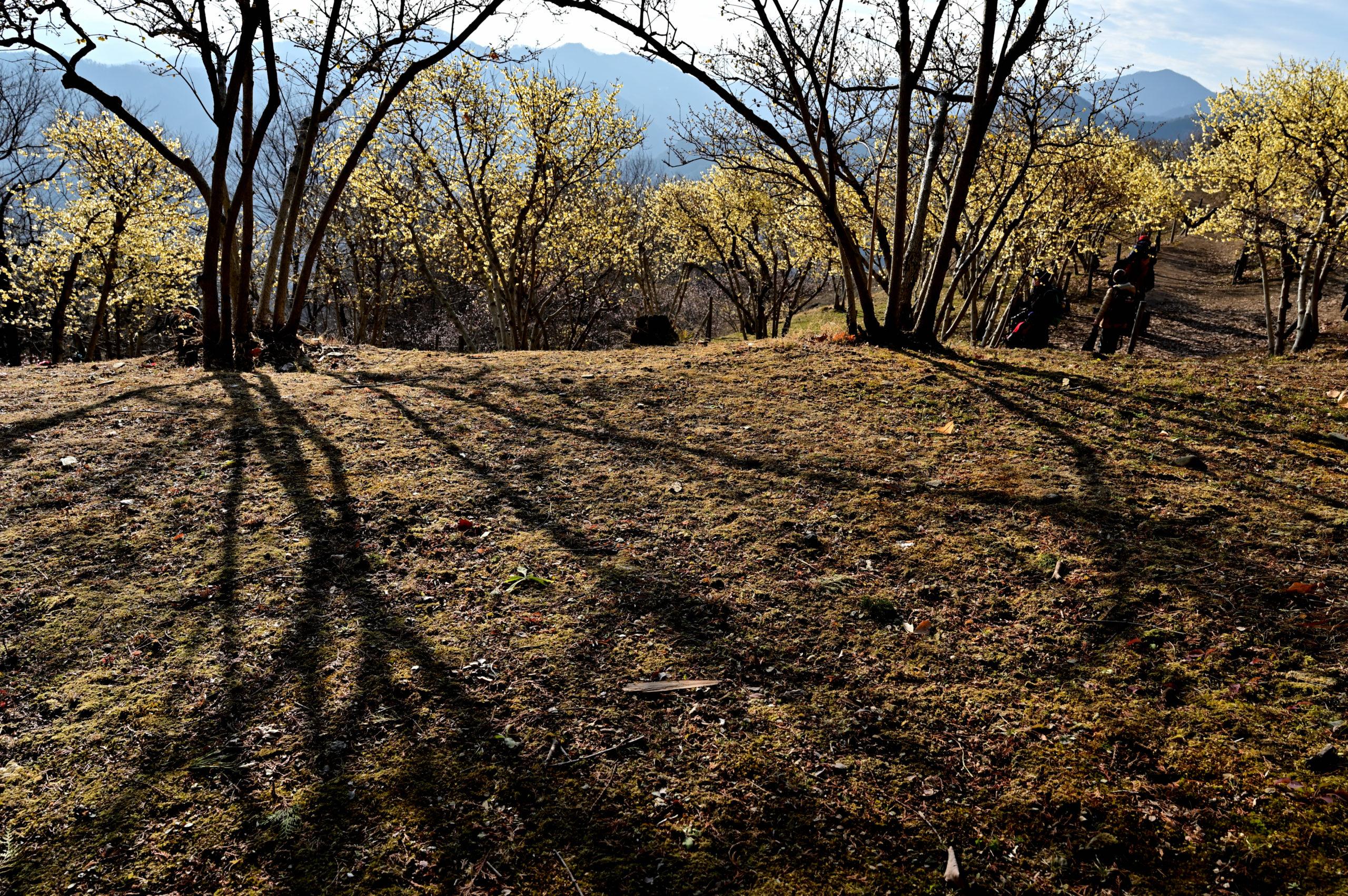 宝登山 ロウバイ祭り 4