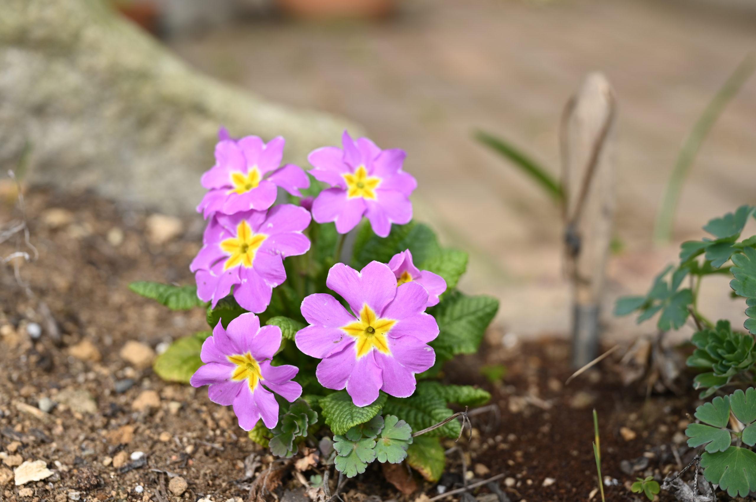 Primula x polyantha プリムラ ポリアンタ くらちゃん