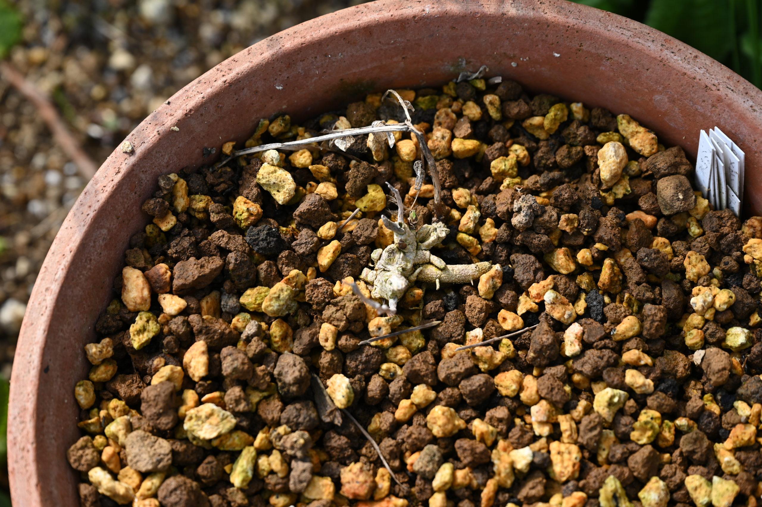 Dictamnus albus var. purpureus ディクタムナス アルブス プルプレウス (ヨウシュハクセン) Dictamnus albus ディクタムナス アルブス (ヨウシュハクセン)