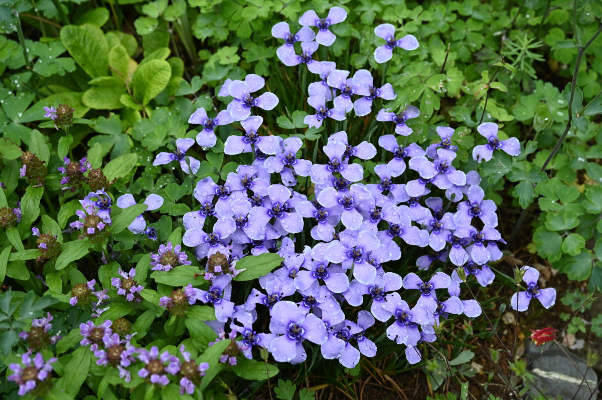 Herbertia amoena ヘルベルティア アモエナ (チリアヤメ)