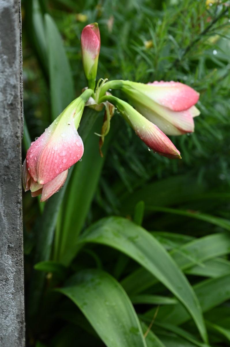 Hippeastrum 'Apple Blossom' ヒッペアストルム 'アップルブロッサム' (園芸上アマリリス)