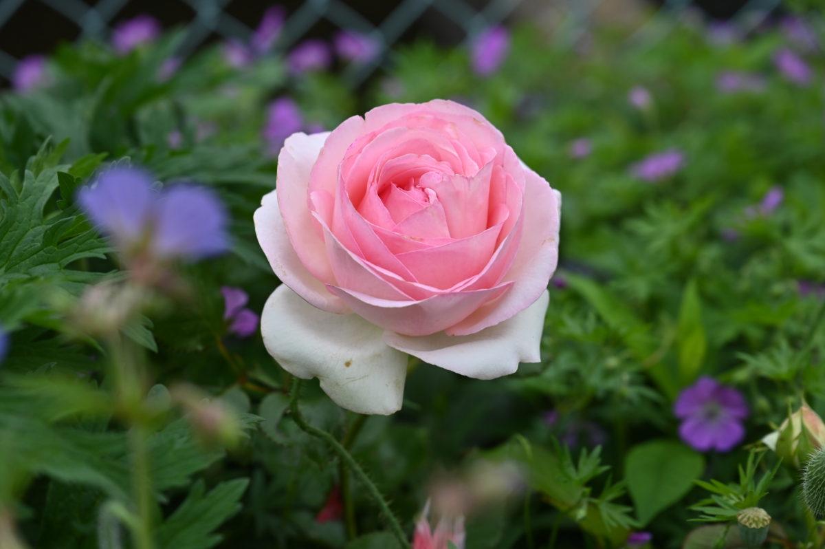 Rosa 'Pierre de Ronsard' ロサ 'ピエールドゥロンサール' (つるバラ)