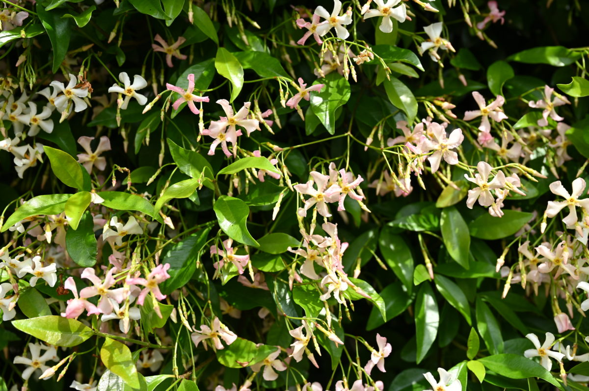 Trachelospermum asiaticum トラケロスペルマム アジアティクム (テイカカズラ)