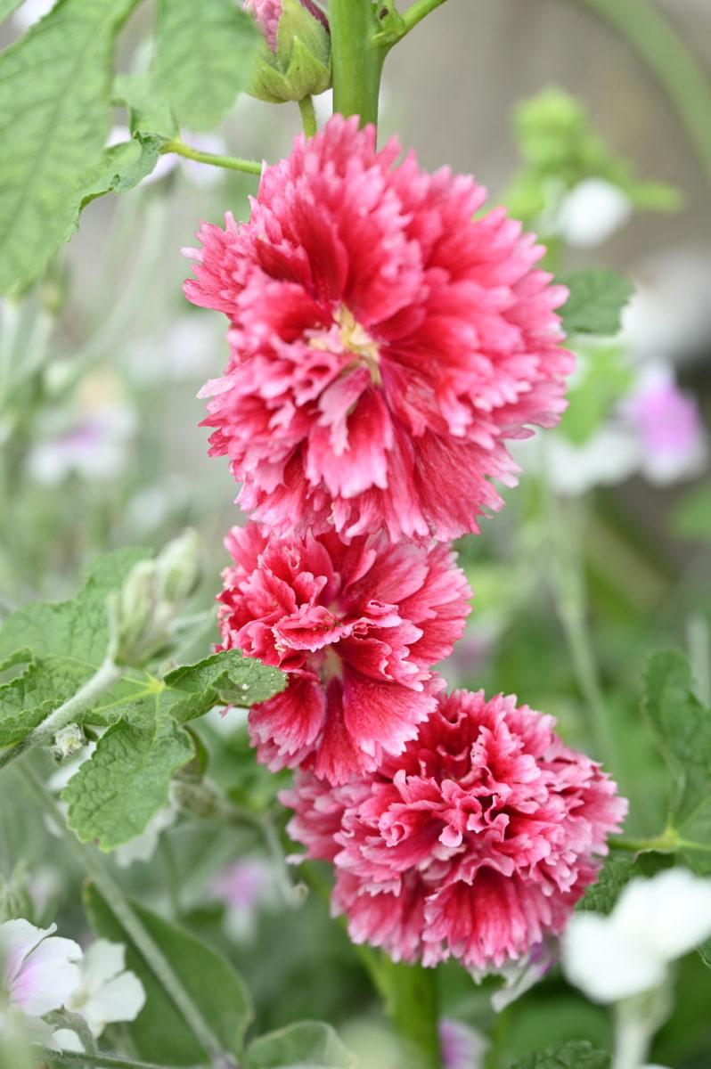 Alcea rosea 'Fiesta Time' (Hollyhock) アルケア ロゼア 'フィエスタタイム' (タチアオイ/ホリホック)