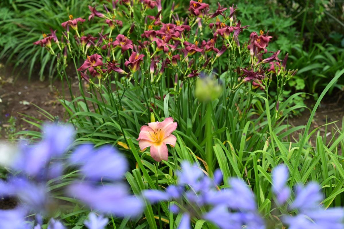 Hemerocallis 'Olallie Orchid' ヘメロカリス 'オラリーオーキッド'