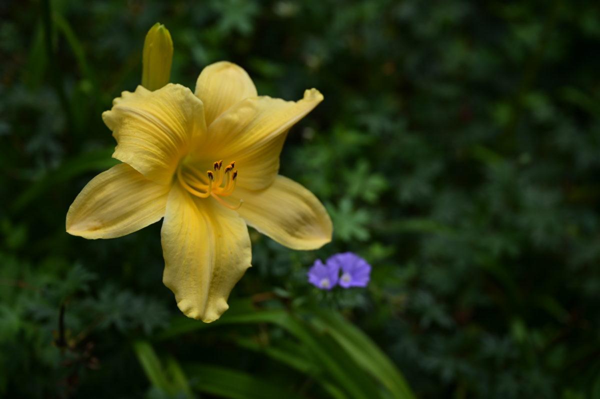 Hemerocallis 'Long Feels Beauty' ヘメロカリス 'ロングフィールズビューティ'