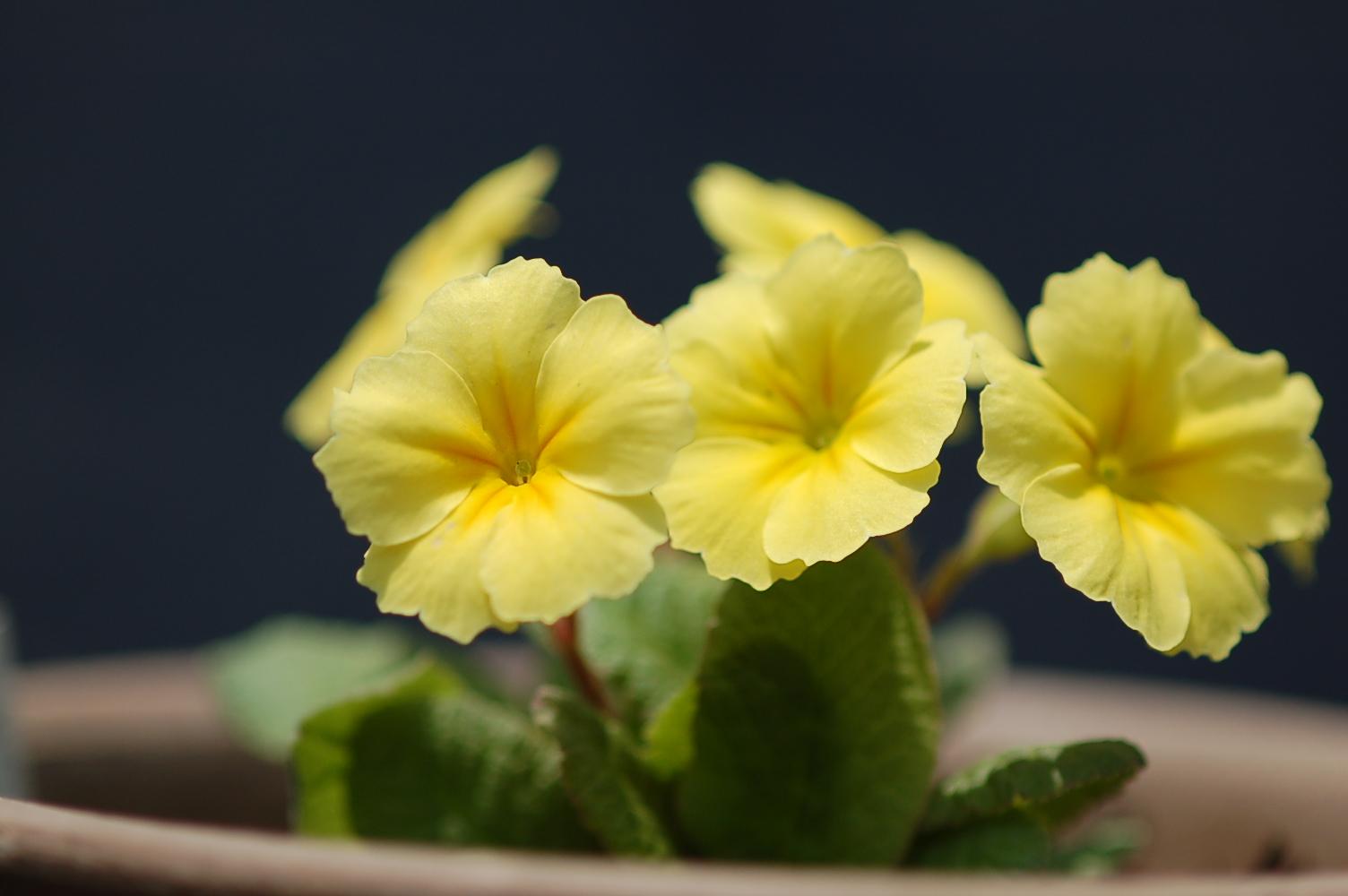 Cowichan Primula Image
